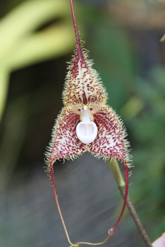 Fuzzy monkey face orchid | by Columbus GV Team