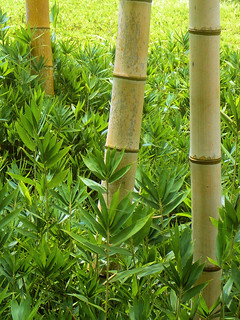 Bamboo | by DocChewbacca