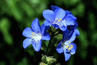Polemonium foliosissimum (leafy Jacob's ladder) | by travelingwild