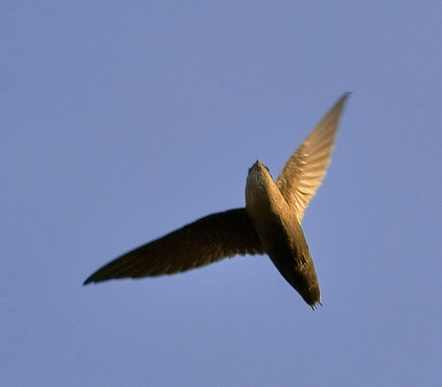 Chimney swift overhead | by jim_mcculloch