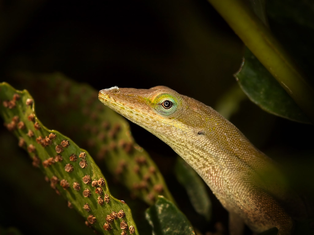 Anole Lizard, Zilker Botanical Gardens, Austin, TX set 11-… | Flickr