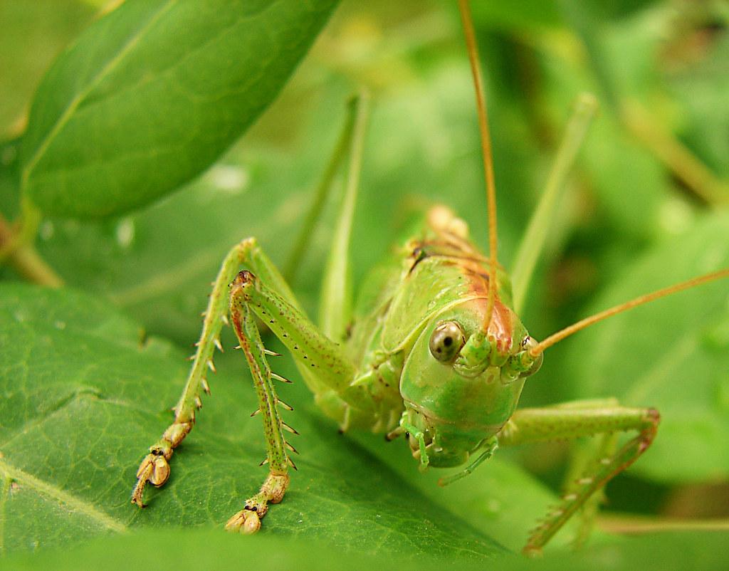 Saltamontes / Grasshopper