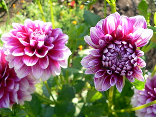 Dahlias | by bwminseattle
