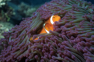 clownfish 952920 | by photos by mhl