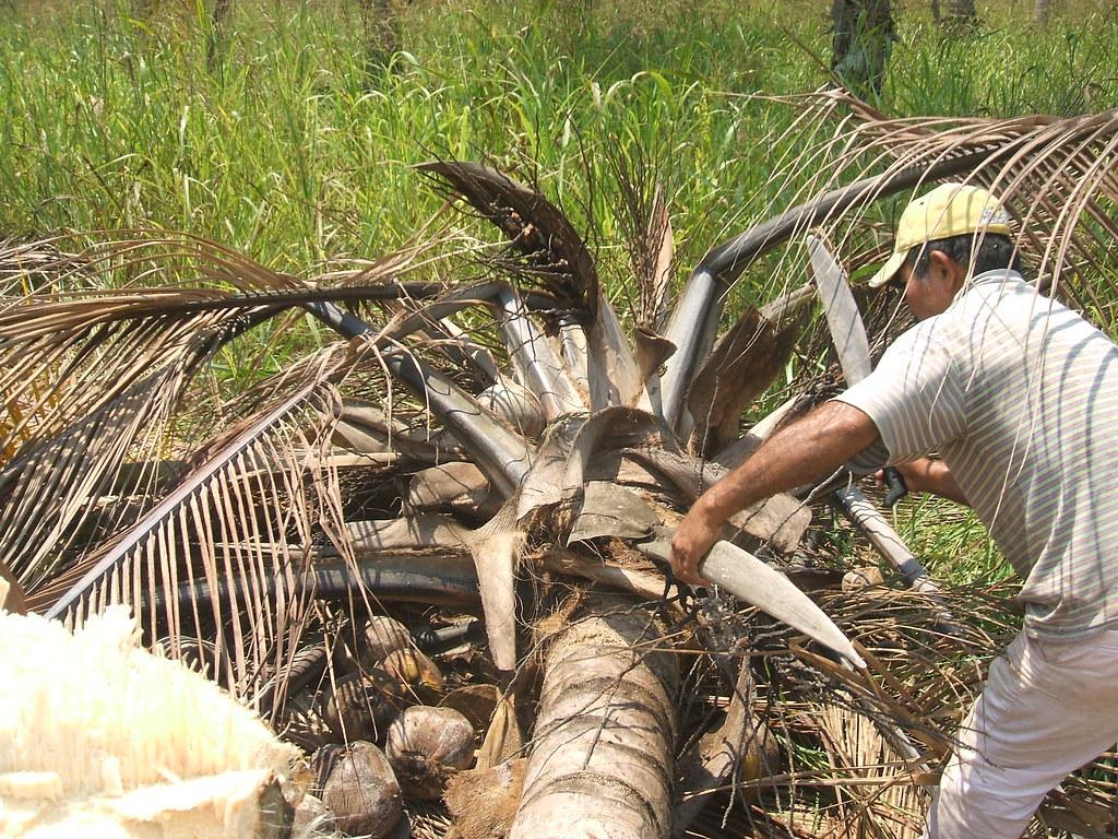 Fotos de palmas secas 39