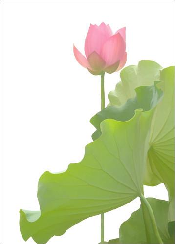Hoa Sen Lotus Flower Hoa Sen Lotus Flower Songvan