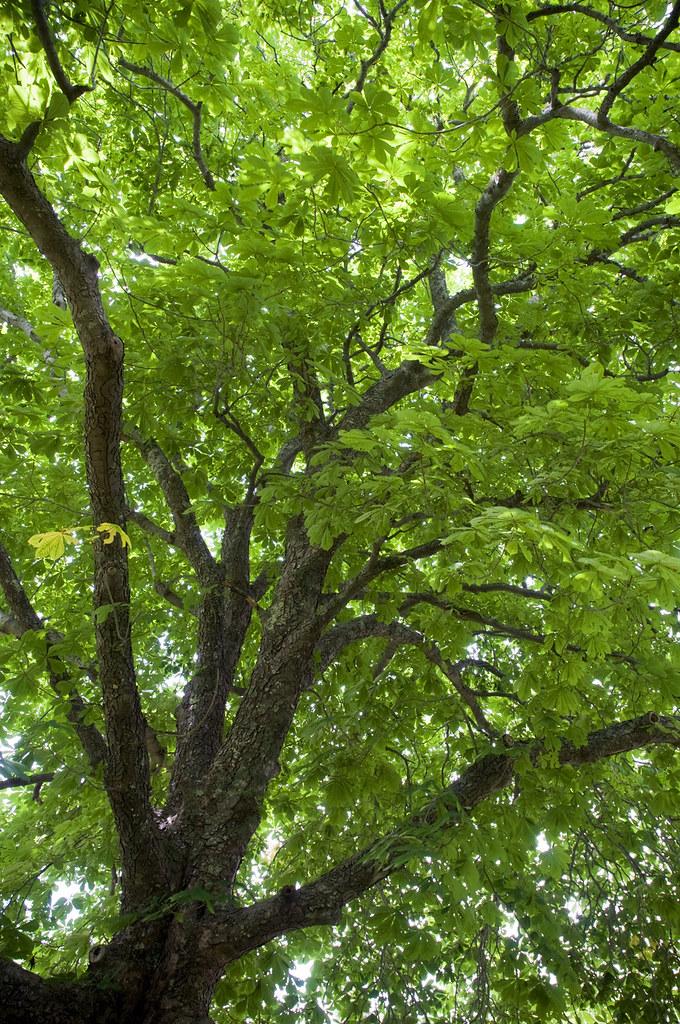 the spreading chestnut tree