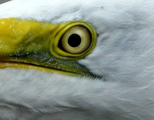 Heron's eye. | by land.nick