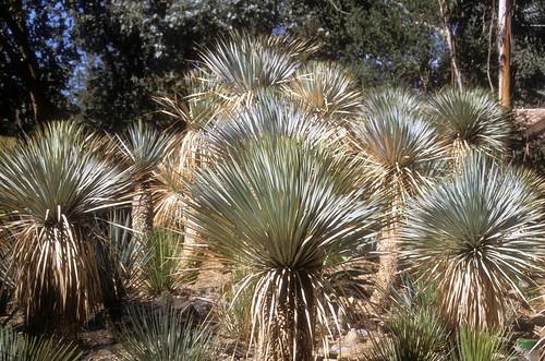Yucca rostrata jardin des oiseaux la londe france sept flickr - Jardin des oiseaux la londe ...