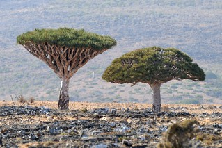 Dragon's Blood trees | by Stefan Geens