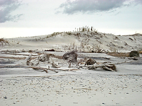 Keeshond Jacksonville Fl Driftwood and sand at ...