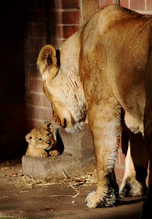 Mum & baby lion | by ClaireMiddsy
