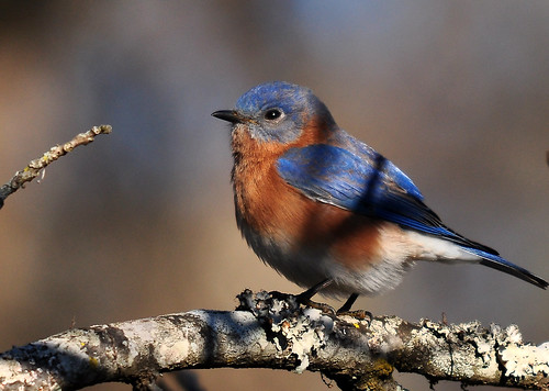 Eastern Bluebird-male | by Ed Schneider