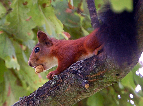Dramatic Squirrel with a Nut | Too bad I don't have a ...