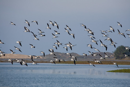 2 of 5 American Avocet (Recurvirostra americana) flock in Moro Bay, CA | by mikebaird