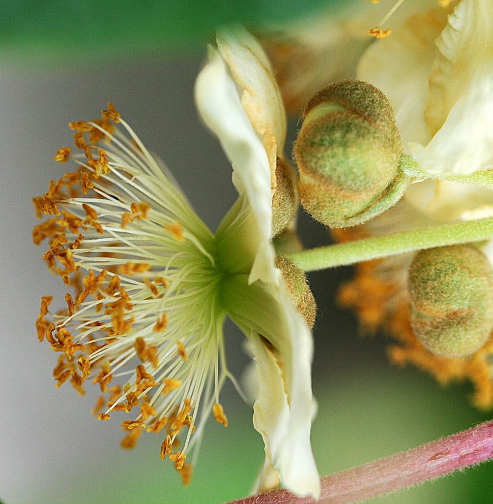 Fleur De Kiwi Actinidia Je Suis Un Peu A La Bourre En Ce Flickr