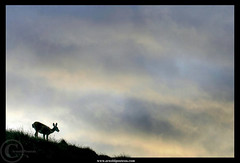 The Deer on the Hill | by Arnold Pouteau's