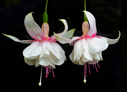 fuchsias dancing  .......  in the wind. | by algo