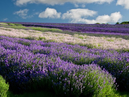 Snowshill Lavender | by flash of light
