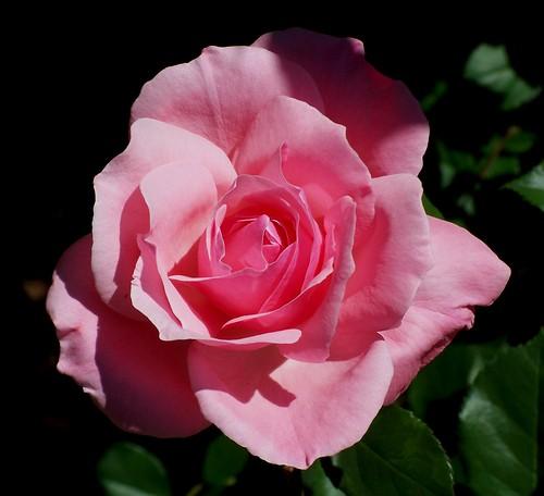 queen elizabeth rose queen elizabeth a favourite rose. Black Bedroom Furniture Sets. Home Design Ideas
