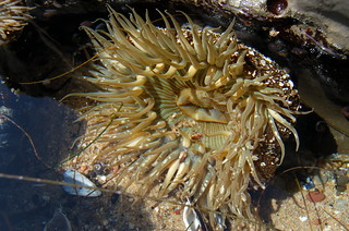 6b. Giant Green Anemone | by kqedquest