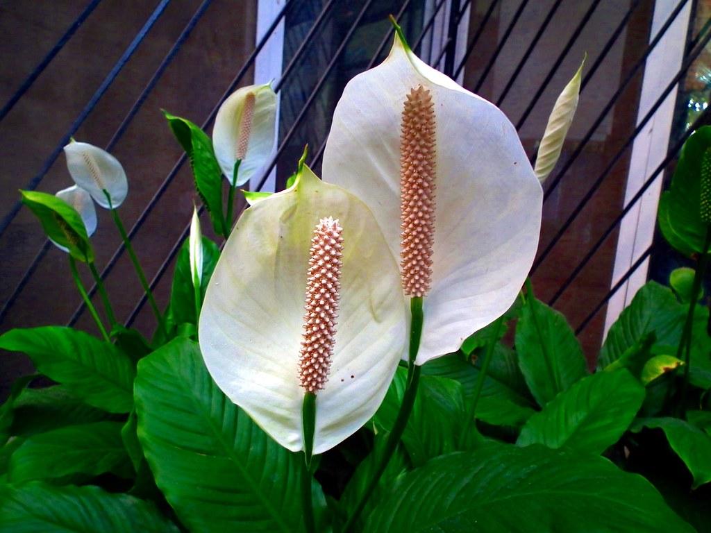 White Anthurium 1 Anthurium Pronounced Njrim1 Flickr