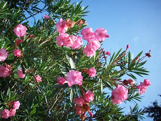 Light Pink Oleander Against The Sky | by letsTHiNK782