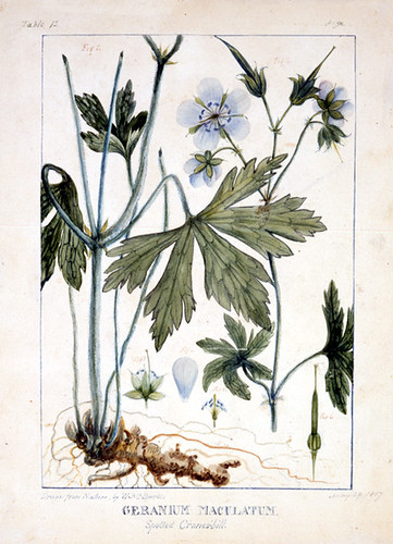 "William P. C. Barton, ""Geranium Maculatum"" for Vegetable Materia Medica. 