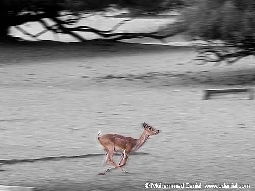 The Unstoppable - Black Buck at Lal Suhanra National Park, Bahwalpur | by Danial Shah
