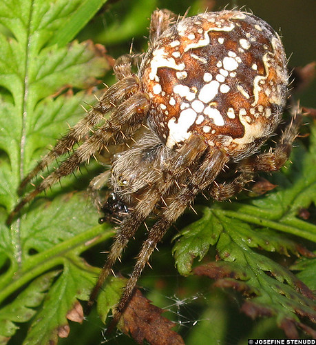 20060913_08 Cross spider (Araneus diadematus) in Östad, Sweden | by ratexla