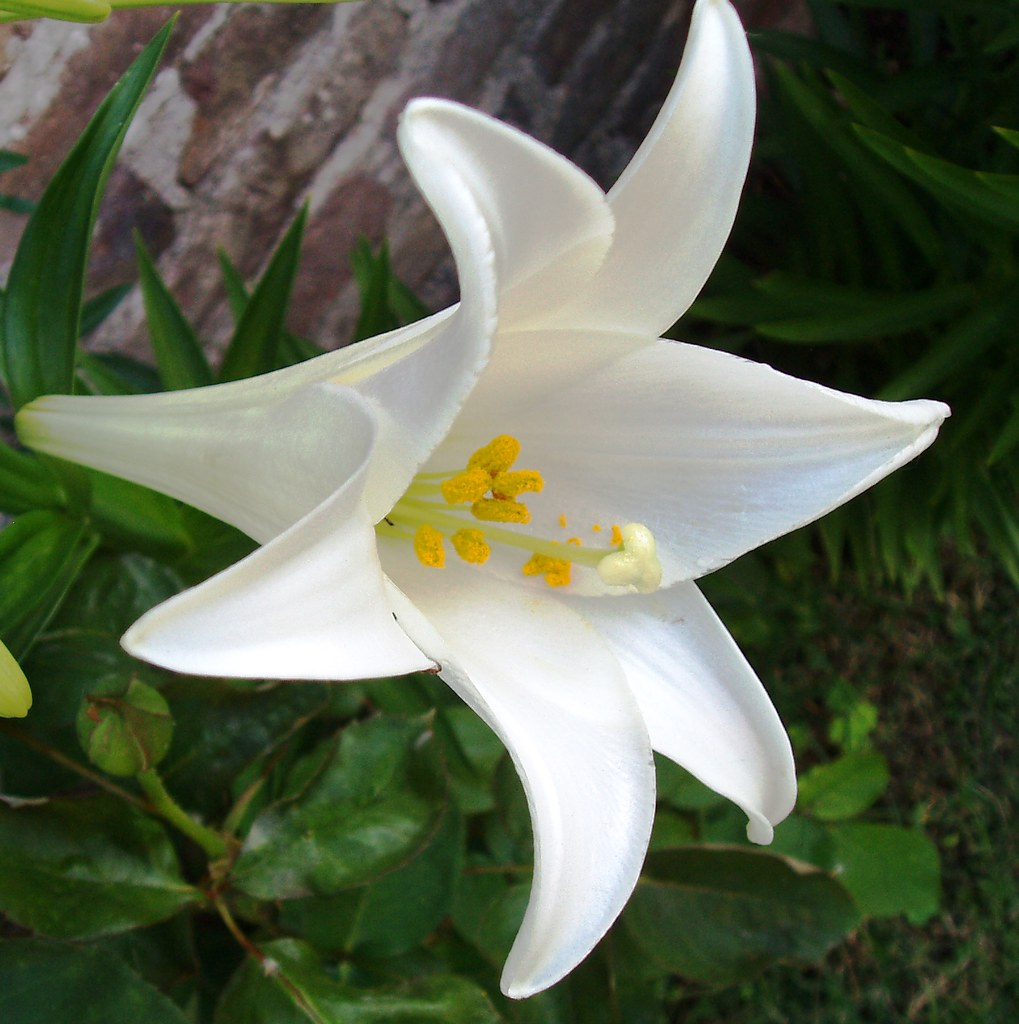 Azucena flower in english
