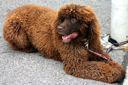 Irish Water Spaniel | by fortinbras