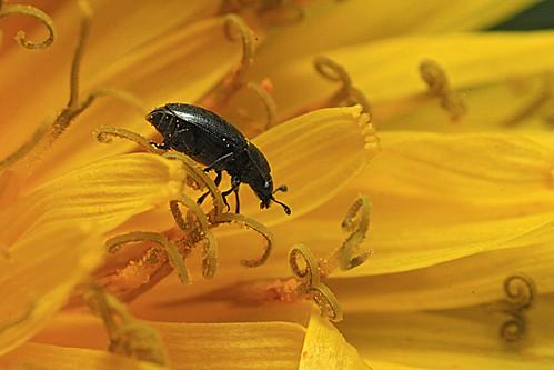 M lig the l 39 int rieur d 39 une fleur de pissenlit mg 1709 flickr - Interieur d une fleur ...