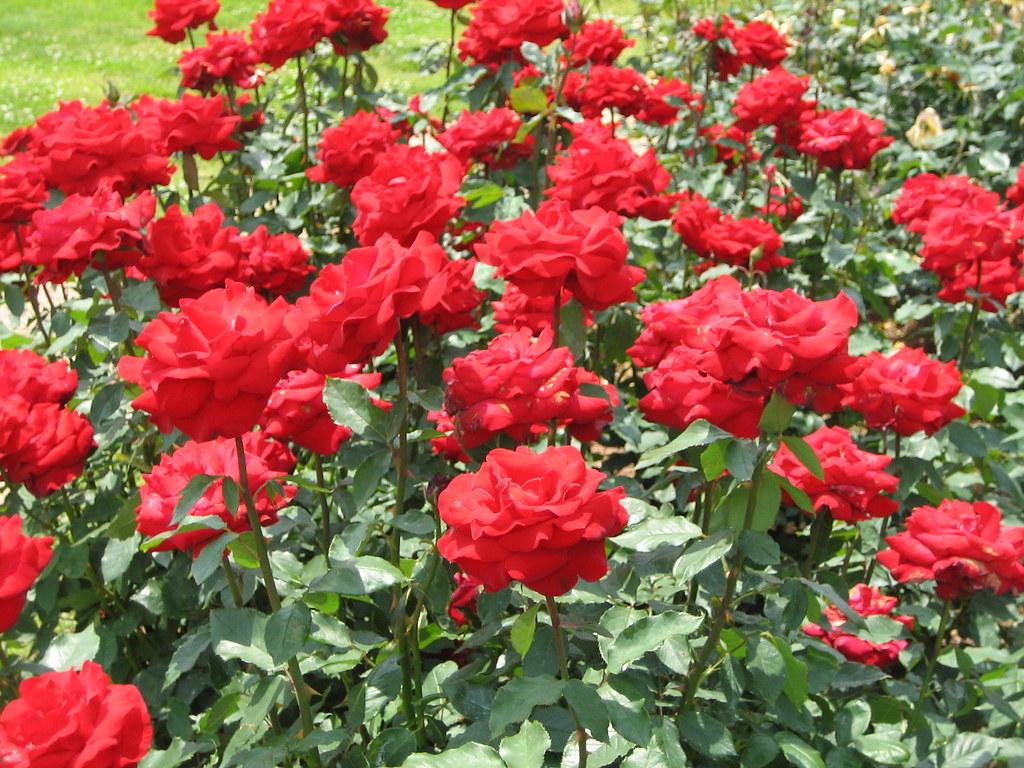 ... Red Roses At Norfolk Botanical Garden | By Bob194156