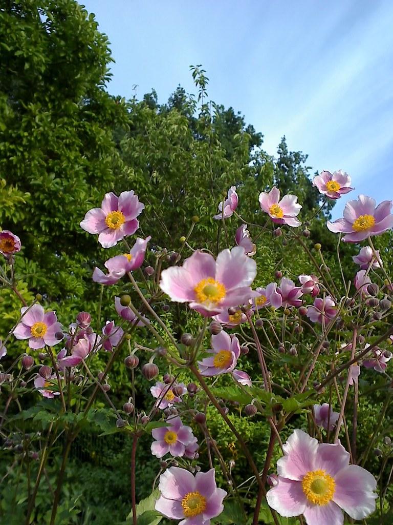 Pflanzen Anemone Herbst Anemonen 060820081829 Anemone H Flickr