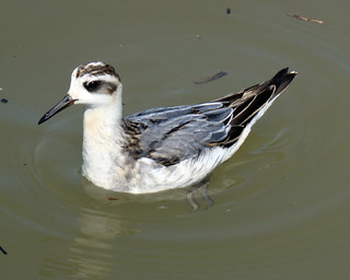 red phalarope | by billy liar