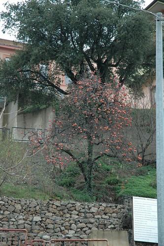 Albero di cachi albero di tutti possibile gustare i for Albero di cachi