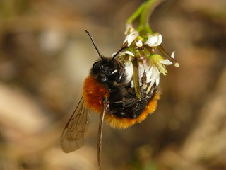 Mining Bee (Andrena fulva) #2 | by The LakeSide
