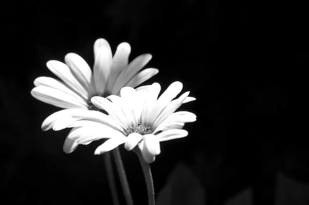 White flower on black background jaesonk flickr white flower on black background by jaesonk mightylinksfo
