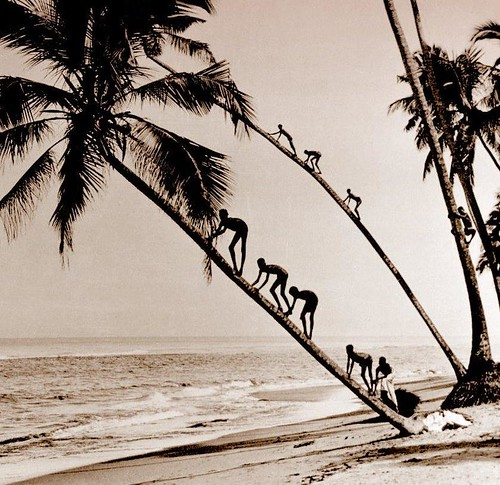 COCONUT CLIMBING KIDS of OLD CEYLON | by Okinawa Soba (Rob)
