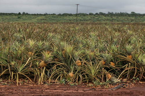 Pineapple (Ananas comosus) | by cliff1066™