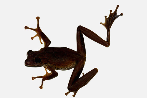 Flying frog - Der fliegende Frosch (Getty Images) | by Daniela Hartmann (alles-schlumpf)