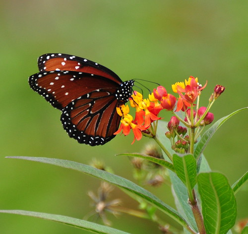 Butterflies are self propelled flowers | by Shakti Womyn