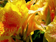 Canna close-up | by Neal1960