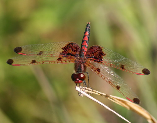 Calico Pennant, male | by DrPhotoMoto