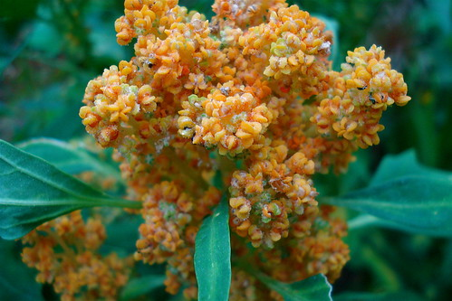 Quinoa flowering | by allispossible.org.uk