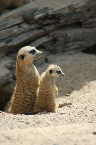 Meerkats | by Kayleigh McCallum