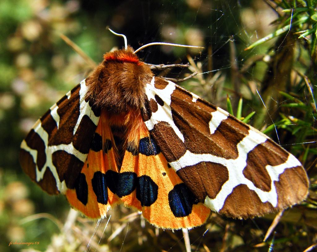 Garden Tiger Moth   Saw this beautiful Garden Tiger Moth at …   Flickr