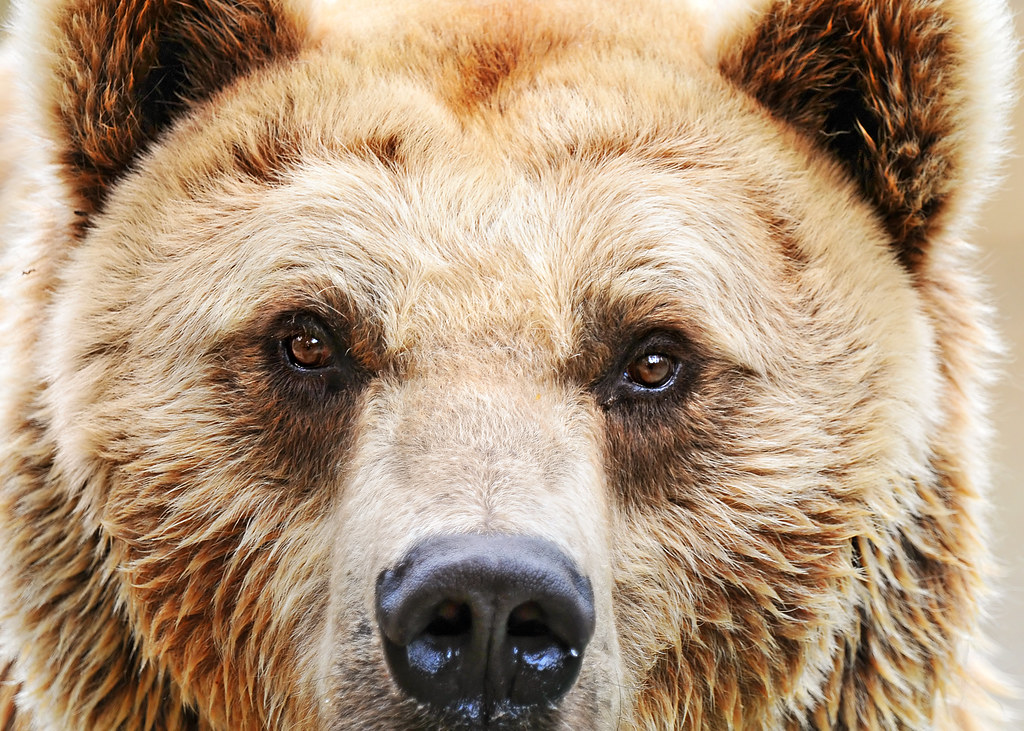Bien-aimé Eye to eye   A brown bear of the zoo of Amnéville looking at…   Flickr VN84