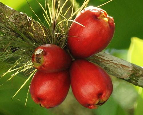 Pomag s pomalaca malaysian apple syzygium malaccense for Frutas ornamentales
